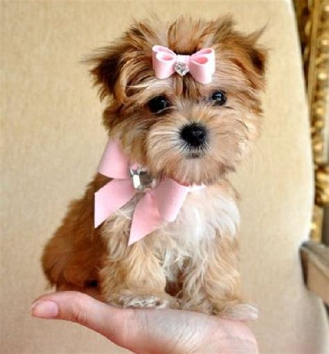 morkie puppies for sale in va 12 best images about dogs on morkie puppies for sale yorkie and black