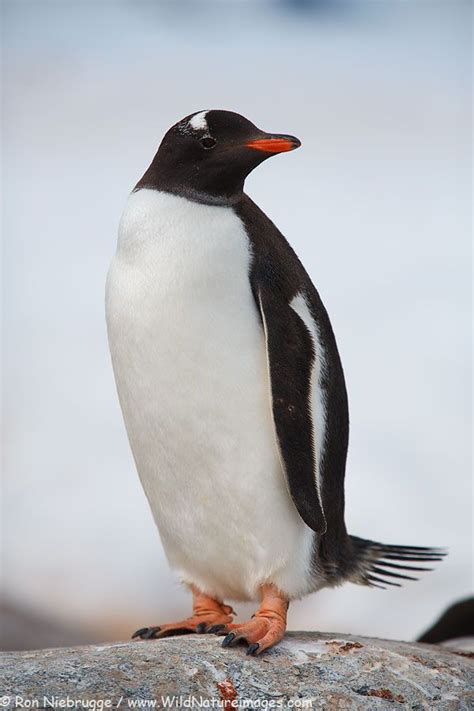 understanding a photograph penguin 1000 images about penguins on baby penguins mobile app and african penguin