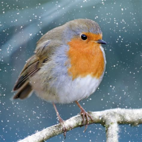 donation as a christmas gift birds wspa visitor cards buy from the wspa charity gift shop a robin