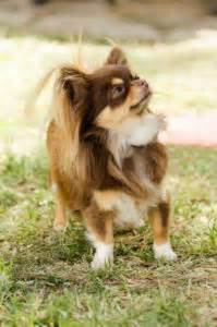 Do Hair Chihuahuas Shed by Chihuahua Weight Chart Growth