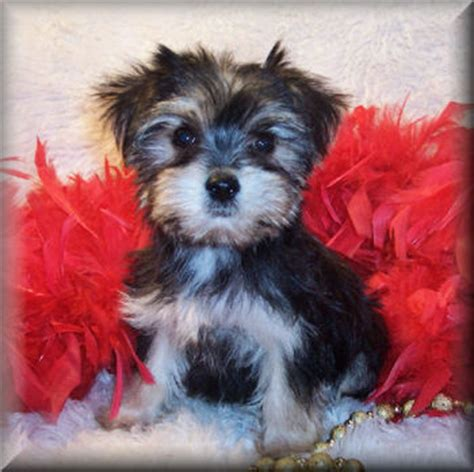 morkie puppies for sale in tn teacup morkies morkie puppies designer puppies for sale