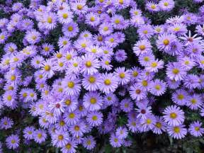 aster color aster flowers
