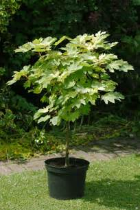 Small Trees For Patio Pots by Trees Growing In Containers Rhs Gardening