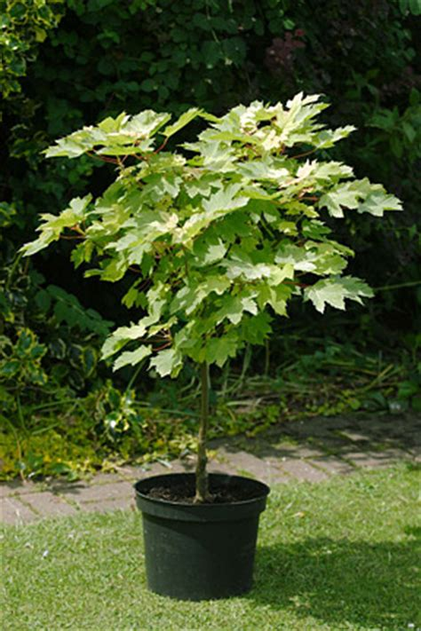 tree container trees growing in containers rhs gardening