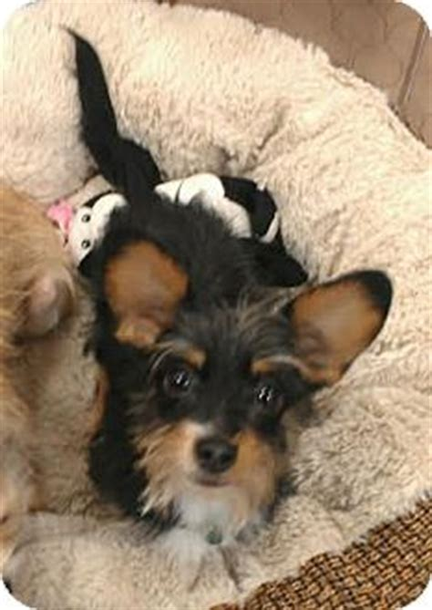 yorkie weiner mix los angeles ca yorkie terrier dachshund mix meet images frompo