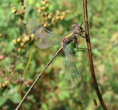 Dragonfly L by Dragonflies And Damselflies