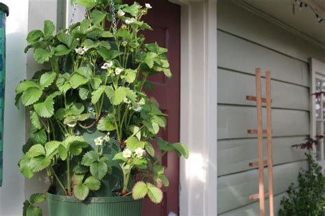 hanging strawberry planter archives garden therapy
