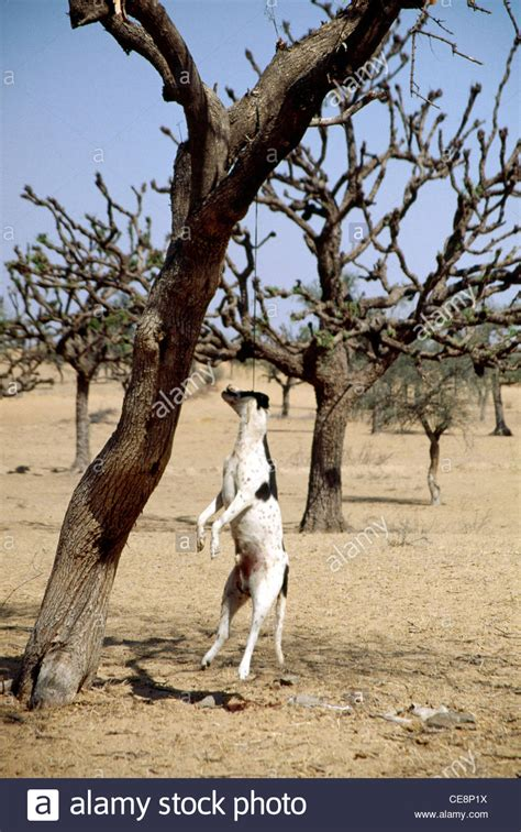 Doggie From Tree by Hpa 80267 Animal Hanging From Tree India