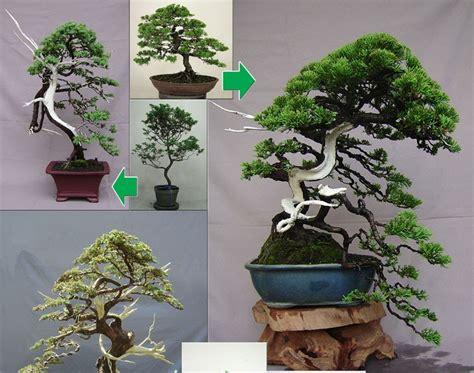 Pupuk Untuk Bunga Bonsai langkah cara membuat bonsai secara umum cara menanam bunga