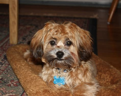 yorkie poo puppies seattle 39 best images about puppies on poodles yorkie and poodle mix