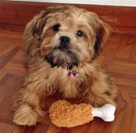 shih tzu mix puppies golden retriever shih tzu mix www pixshark images galleries with a bite