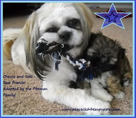 shih tzu potty problems home our nursery testimonials potty and chewing choosing the right vet bio