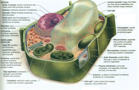 plant cell diagram labeled labeled plant cell structure