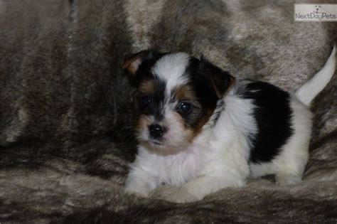 teacup yorkies for sale in kansas 111 best tiny yorkie puppies for sale images on yorkie puppies