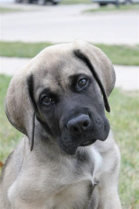 mastiff puppy best 20 mastiff puppies ideas on neopolitan mastiff big dogs and