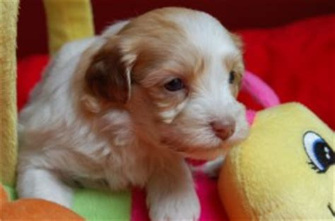 apricot havanese royal flush havanese photos