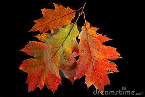 red oak leaves autumn  fall colors royalty  stock