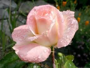 princess diana rose my love for roses pinterest