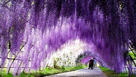 wisteria flower tunnel in japan wisteria in the desert krystle kelley