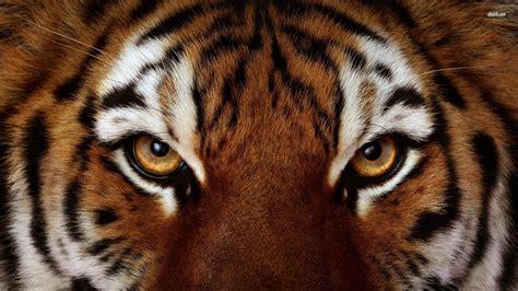 animal bengal tiger tiger wallpaper mixhd wallpapers animals