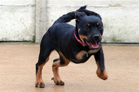 legged dogs three legged puppy can t find home because of disability