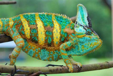 veiled chameleon colors veiled chameleon colors chameleon forums