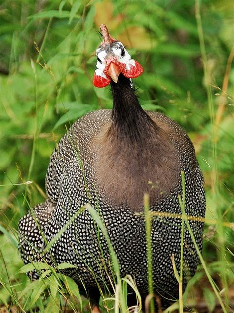 Bulu Ayam Guinea Fowl Guinea Fowl Feathers 251 best images about galinhas d angola numididae on
