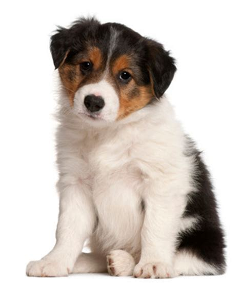 how big will my puppy get calculator find out your puppy s weight puppy chart