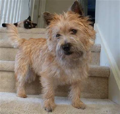 carin terrior haircut cairn terrier haircuts happy paws by lori home debary fl
