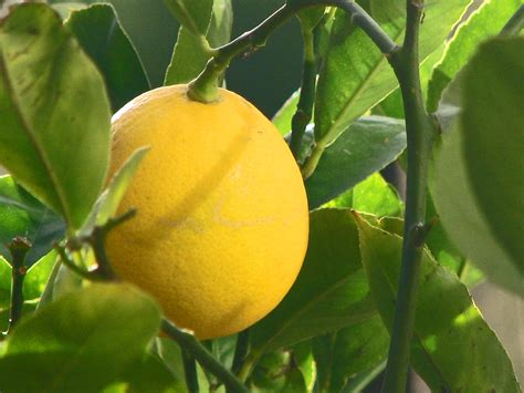 Meyer Lemon | meyer lemon wikipedia