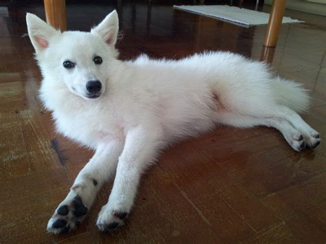 spitz breeds japanese spitz puppies rescue pictures information temperament characteristics