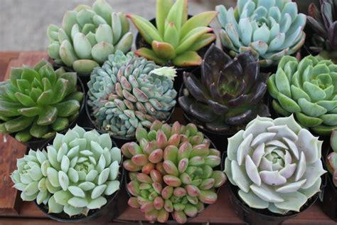 Succulent In Mini Glass With Ds Gr Artificial 10 gorgeous rosette succulents in their 2 5 quot plastic containers ideal for wedding favors