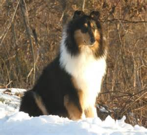 tri color collie tri color collie at taliesen collies of