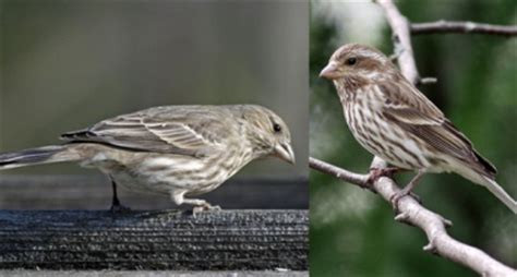 difference between purple finch and house finch difference between house finch and purple finch 28 images the distracted birders