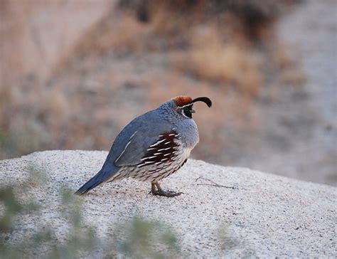 quail bird flying www pixshark com images galleries