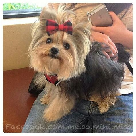 yorkie misa 2034 best yorkies images on baby puppies fluffy pets and dogs