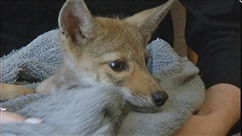 coyote puppy s rescued puppy is really a baby coyote aol news