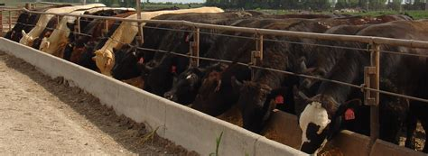 Cattle Feed Pleads Guilty In Cattle Fraud Scheme