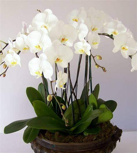 Orchid Plant by Image Gallery Large Orchid Plant