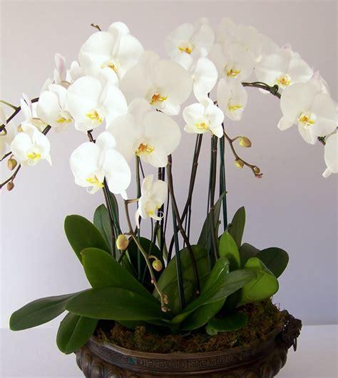 Orchid Plant Custom Plant Design
