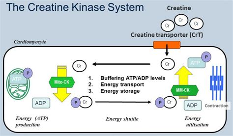 is creatine kinase prof craig lygate radcliffe department of medicine