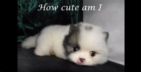 cutest teacup pomeranian meet quot mickey quot the tiniest and cutest teacup pomeranian puppy his