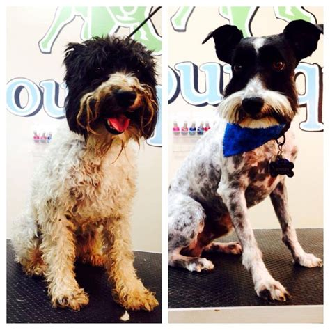 a1 bentley before and after 7 best before and after pet grooming photo gallery images