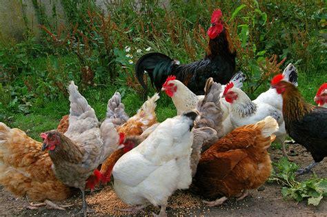 Can I Raise Chickens In Backyard by Kostenloses Foto H 252 Hner H 252 Hnerhof Bauernhof Kostenloses Bild Auf Pixabay 874507