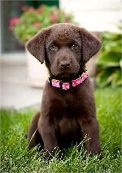 chocolate lab puppies for sale in ny labrador retriever puppies central new york rachael edwards