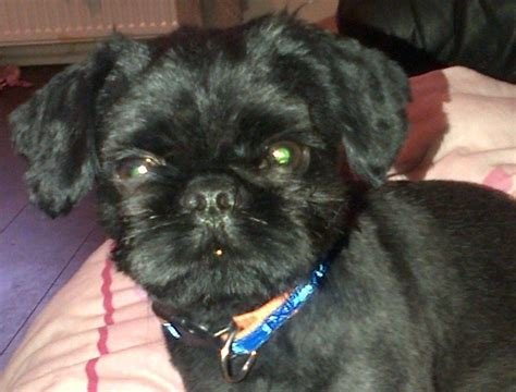 all black shih tzu for sale beautiful all black shih tzu for stud stanley county durham pets4homes