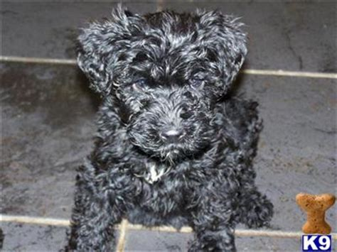 kerry blue terrier puppies for sale kerry blue terrier pups for sale 2273