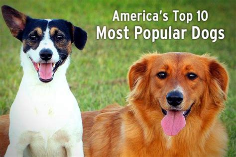 most popular dogs in america top 10 most popular dogs in america newsilike