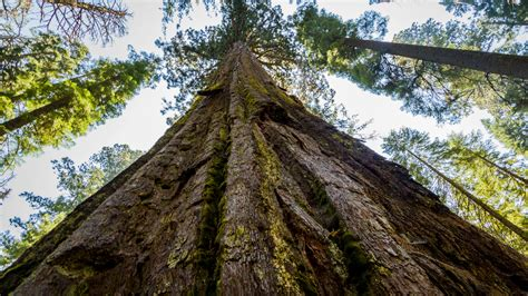 big trees scientists discovered a way to make trees grow bigger
