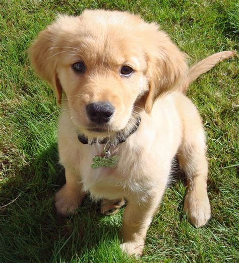 golden retriever puppy not friendly puppy pictures